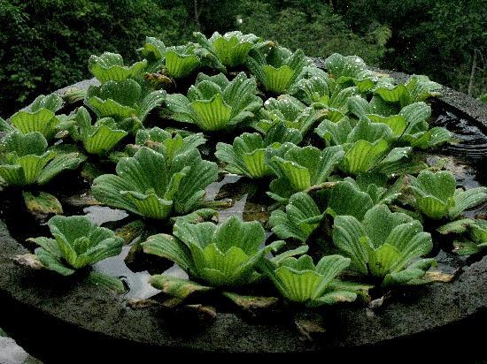 Villa Awang Awang: Water lettuce