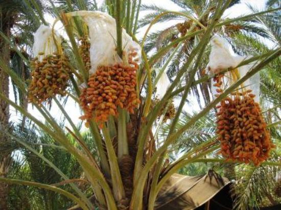 Дуз, Тунис: Douz