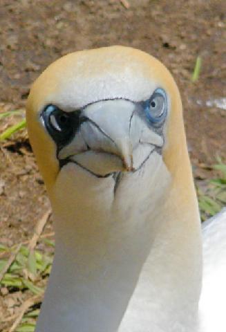 Muriwai gannet