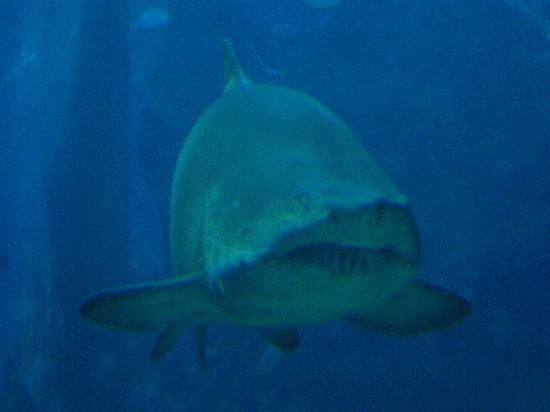 ซีไลฟ์ แบงคอก โอเชี่ยน เวิร์ล: big shark
