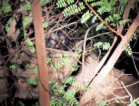 Chambal Safari Lodge: Palm Civet at the lodge nature walk