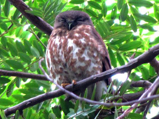 Chambal Safari Lodge: Brown Hawk Owl