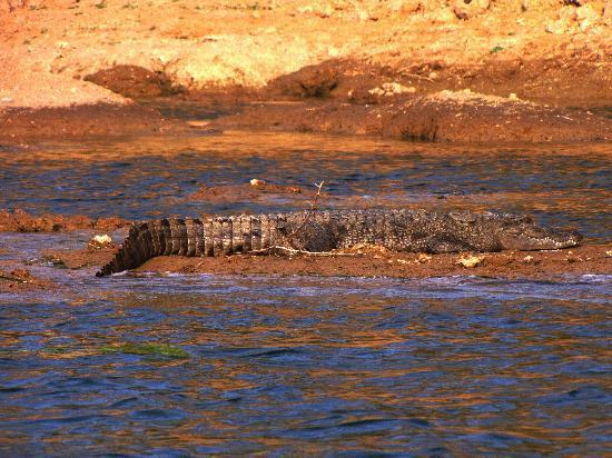 Chambal Safari Lodge: marsh crocodile