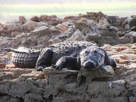 Chambal Safari Lodge: marsh crocodile [ mugger ]