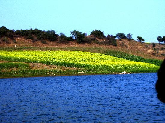 Chambal Safari Lodge: mustard patch along the river bank