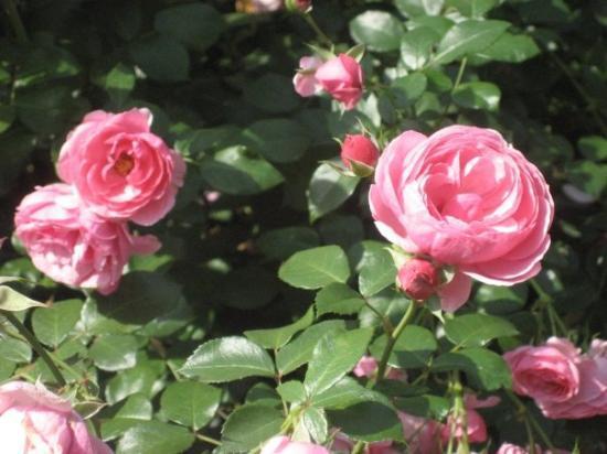 Rosengarten Foto