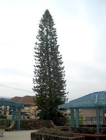 Norfolk Island Pine Tree Upper Parking Lot At The Kona