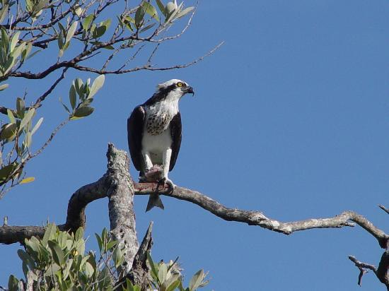 Turtle Bay Condos: An osprey enjoying dinner in the mangroves down by the dock