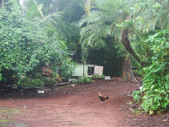 A Beautiful Day, Nani La 'Ao: the chicken is crossing the road to get to the other side!
