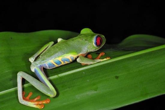 Tortuguero, Κόστα Ρίκα: Una de les granotes més impressionants del continent americà, la granota d'ulls vermells. La fot