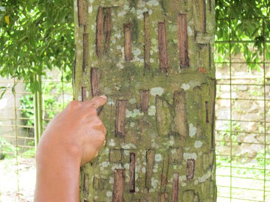 Bali, Indonesien: Cinnamon Tree