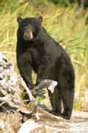 Errington's Wilderness Island Resort: Canada Bear Photograpy Vacation at Errington's Wilderness Island Resort