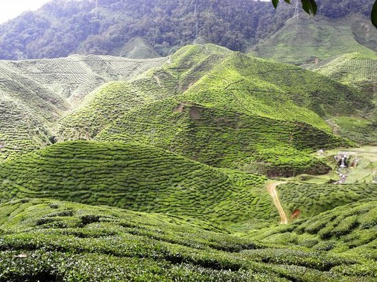 Ringlet, Malezya: Tea plantations, Cameron Highlands