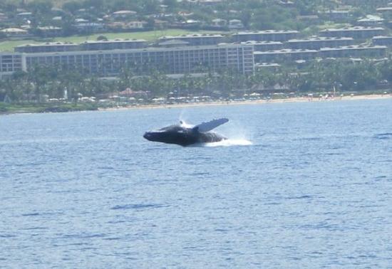 Wailea, Hawái: Full breach, humpback whale!