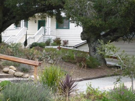 Deer in parking lot at Los Laureles Lodge