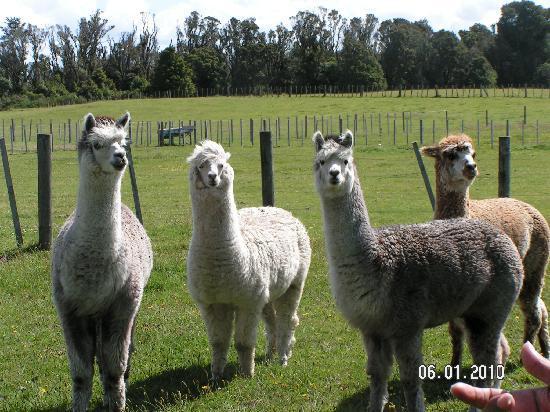Mountain Heights Lodge: The Alpacas on the farm