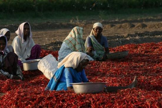 Nagarjuna Sagar, India: Women working in Chilli fields