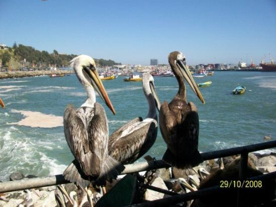 Pelicans at Puerto San Antonio, Chile