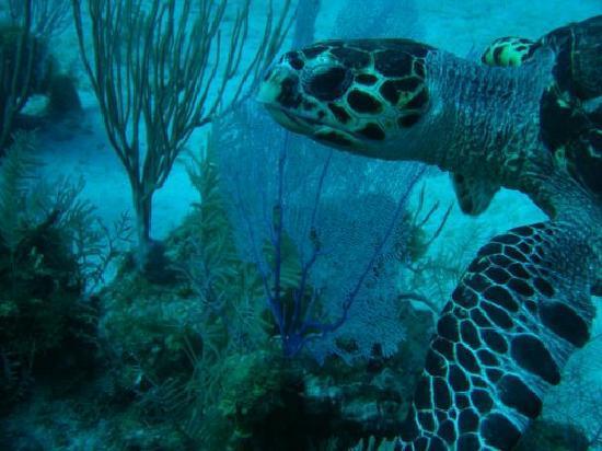 Seven Mile Beach, Grand Cayman : Turtle's everywhere