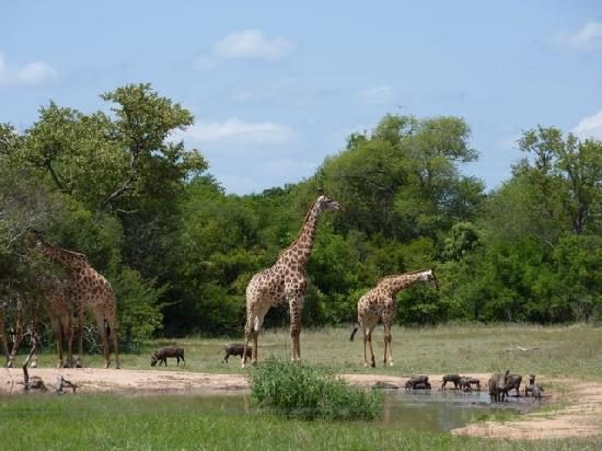Monwana Game Lodge: Giraffes at Monwana drinking pool