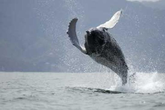 Ocean Friendly Whale Watching Tours: A young calf breaches.