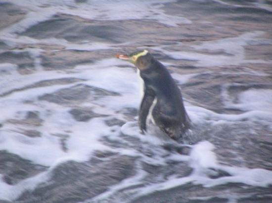 Bluff, New Zealand: Yellow Eyed Pinguin!