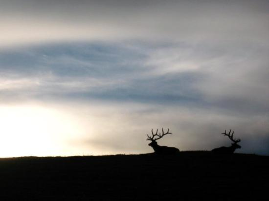 Parque Nacional de las Montañas Rocosas, CO: Elk in the Tundra of Rocky Mountain National Park at sunset