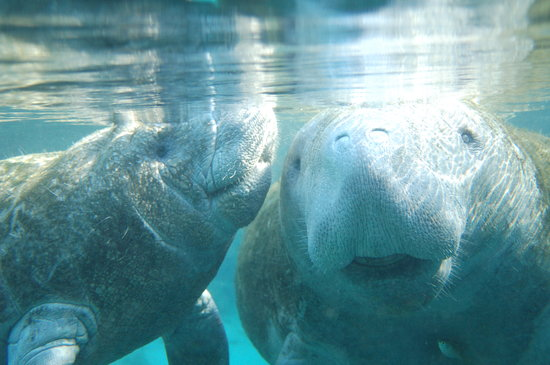 Homosassa, FL: Mom and Baby Manatee