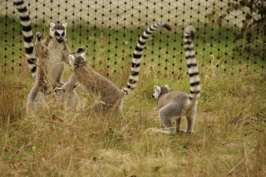 Tenby, UK: Ring-tail lemurs at Wild Wales zoo. You can walk in with them...