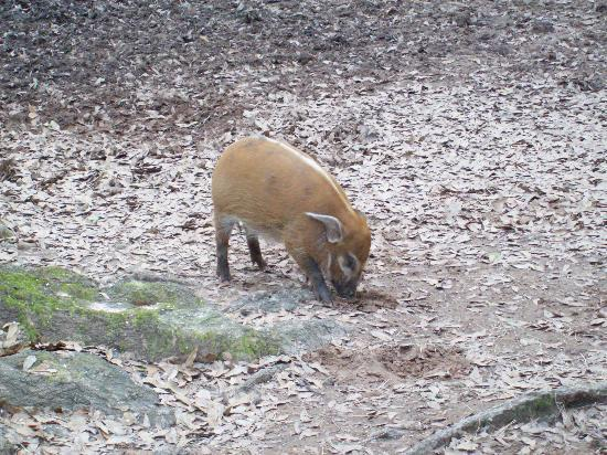 Alexandria, Луизиана: baby red river hog