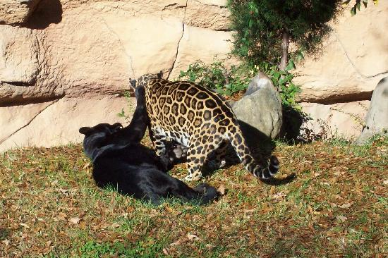 Superb Little Rock Zoo: Jaguars