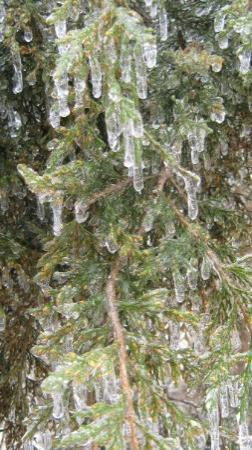 Bunch, โอคลาโฮมา: Ice is hanging on our pine tree.