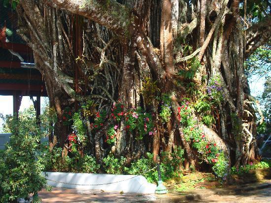 Viraporn's place: beautiful huge tree at bhuping garden