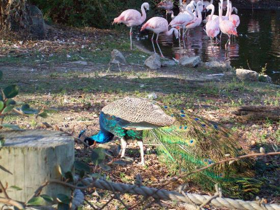 Baton Rouge Zoo: peacock hanging out with the flamingos