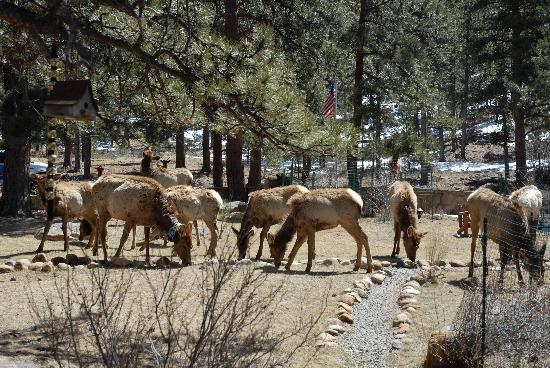"Romantic Riversong Bed and Breakfast Inn : Our ""local herd"" of Elk"