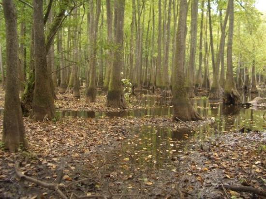 Forkland, AL: Cypress