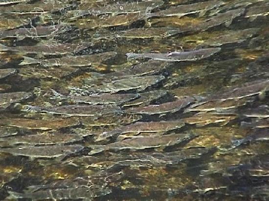 Grizzly Bear Lodge & Safari: Salmon Spawning