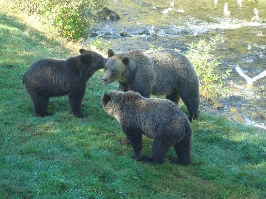 Grizzly Bear Lodge & Safari: Mother And Two Cubs
