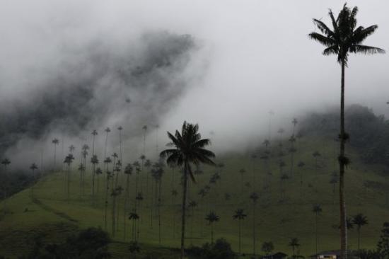 Armenia, Colombia: Colombia's National Tree the Wax Palm Tree.