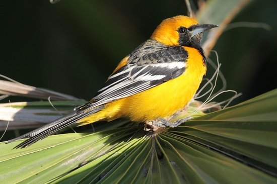 San Jose del Cabo, Meksika: Hooded Oriole (male)