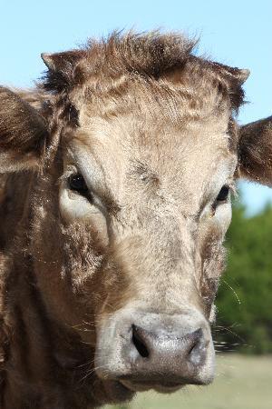 The Smoakhouse Ranch: Smoakhouse cow
