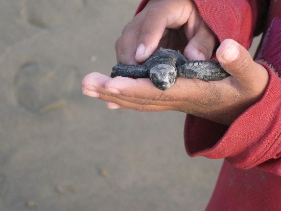 Tronco Bay Inn Resort: daily release of sa turtles at Robertos