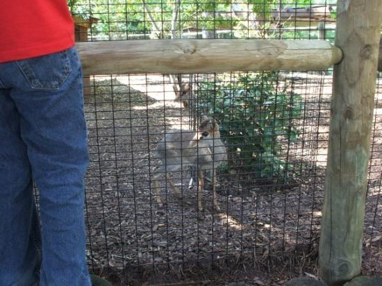 """Montgomery Zoo: This little creature is called a """"DIK-DIK""""....I ain't lying....really.....it is!!"""