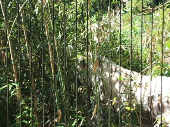 Montgomery Zoo : The Bengal Tiger.....