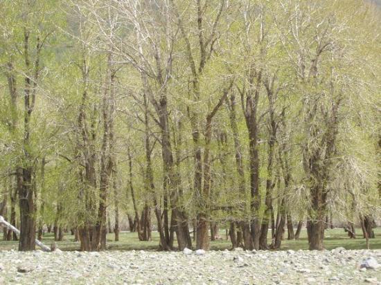 Bayanhongor, منغوليا: Mong.Trees2