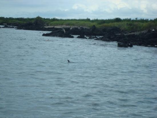 Galapagos Penguin (Urbina Bay, Isabela Island - Galapagos) - January 2010