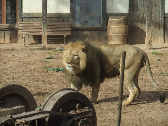 Terra Natura Murcia : leones dos