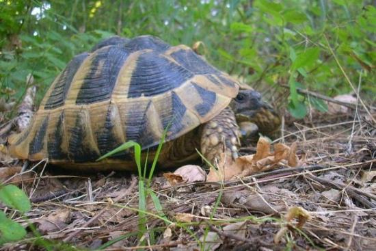 Strandja Mountain: Es gibt noch Schildkröten  im Strandscha Gebirge!!!