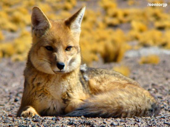 San Pedro de Atacama, Chili: Zorro Culpeo - Laguna Miscanti Reserva Nacional los Flamencos