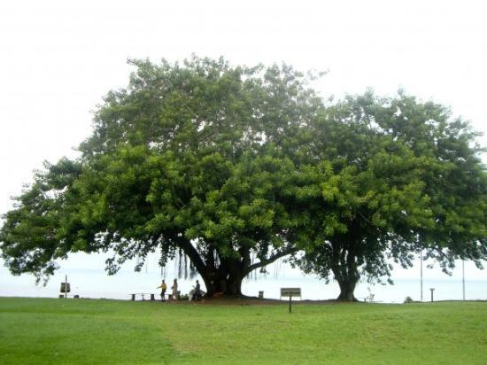 State of Bahia: albero secolare a porto seguro.